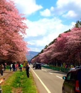 Sakura.2014